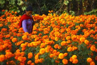 यो तिहारमा भारतबाट फूल नल्याइने